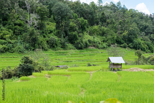 Foto op Aluminium Rijstvelden Rice field on terrace in Chiangmai, Thailand. natural landscape of rice farm. cultivation, agriculture