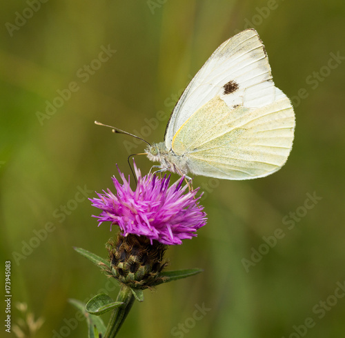 Large White Butterfly Perched on a Thistle Poster