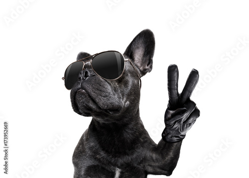 Poster Crazy dog posing dog with sunglasses and peace fingers