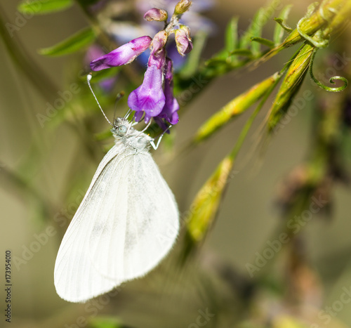 Large White Butterfly on Mauve Flower Poster