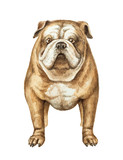 Watercolor vector English bulldog isolated on white background. - 173968066