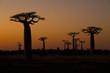 Leinwanddruck Bild - Baobab Baeume im Sonnenuntergang