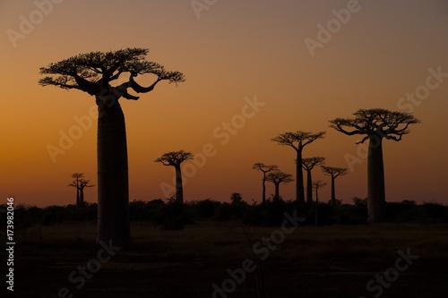 Tuinposter Baobab Baobab Baeume im Sonnenuntergang