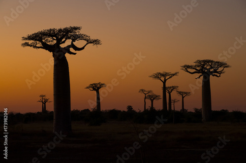 Leinwanddruck Bild Baobab Baeume im Sonnenuntergang