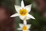 The wild tulip Tulipa turkestanica