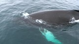A large whale slowly emerges from the water. Andreev. - 174006824