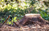 Tree stump in forest, ecology background - 174010004