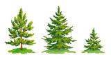 Vector drawing of little pine tree and two fir trees
