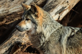 A Dignified Mexican Wolf at Rest - 174021087