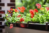 Balcony flowers, home garden with blossom of geranium - 174030080
