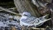 Jeune paille-en-queue encore dans son nid, Seychelles, série