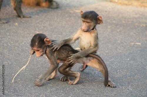 animale selvatico babbuino gioco cucciolo parco kruger Poster