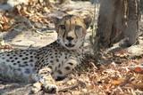 animale selvatico ghepardo fauna africa - 174037216