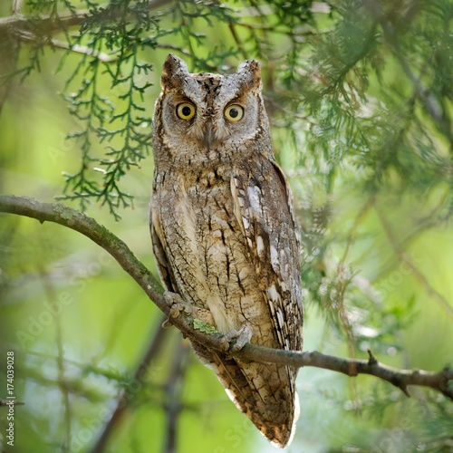 Scops owl sitting in a tree on a beautiful green background