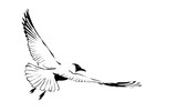 Vector hand drawn image of soaring seagull, Line art illustration isolated on white background