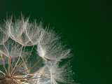 The macro photo the beautiful dandelion