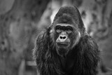 Gorilla portrait with blurred background showing face and upper body black & white - 174047633