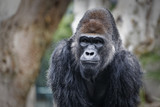 Gorilla face portrait with blurred background - 174047652