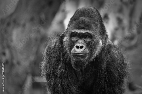 Gorilla portrait with blurred background showing face and upper body black & white © Mohamed