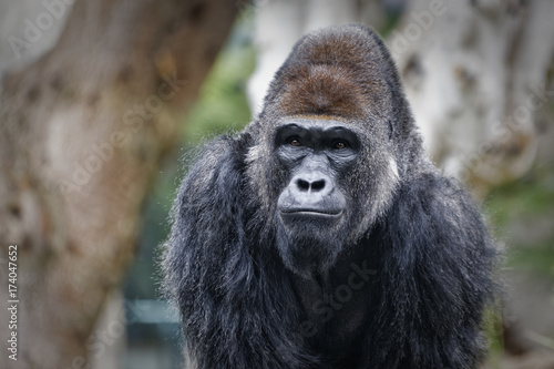 Gorilla portrait with blurred background showing face and upper body Poster