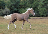 The beautiful foal of rare silvery color trots across the field - 174061091
