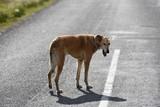 Bezpański pies na drodze - 174061873