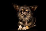 Chihuahua Yorkshire Terrier mongrel, sweet dog on black background
