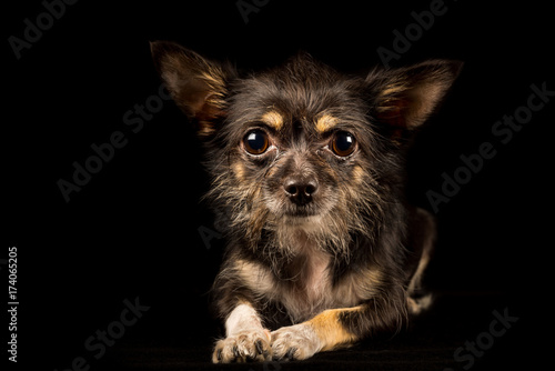 Chihuahua Yorkshire Terrier mongrel, sweet dog on black background Poster