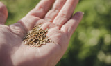 Dill Seeds in Hand - 174081407
