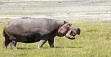 Hippo On Land - 174095864