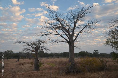 Aluminium Baobab The African landscape. Mozambique