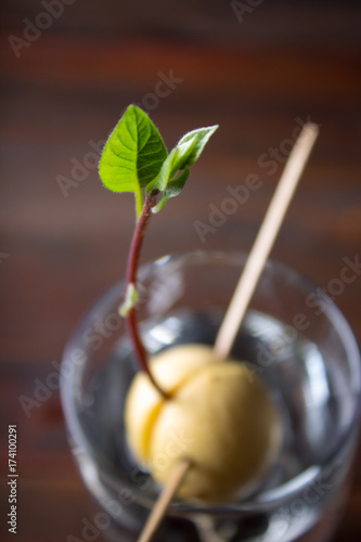 The avocado sprout grows from the seed in a glass of water Poster