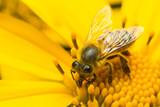 bee pollinating yellow flower  - 174100881