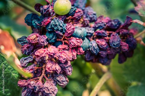 vigne © ahinoam