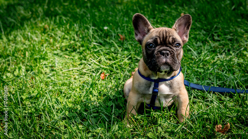 Foto op Canvas Franse bulldog French Bulldog park