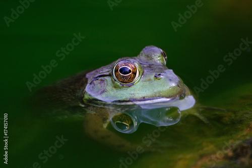 Aluminium Kikker Frog