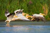 Pelicans in The Danube Delta, Tulcea, Romania