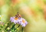 Bee moving from flower to flower pollinating as it goes - 174167280