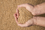wheat grains in hands  - close up - 174175459