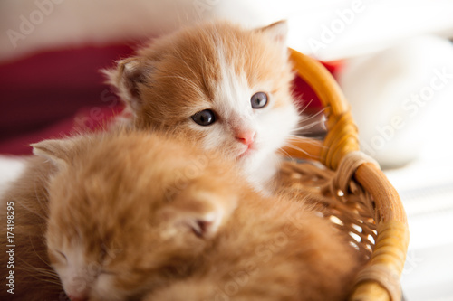 two small ginger kitten in the basket in home Poster