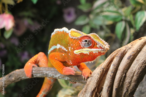 Fotobehang Kikker chameleon