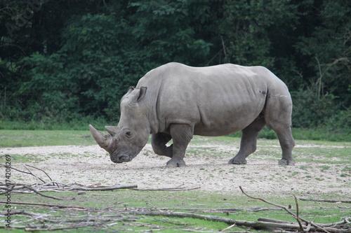 Fotobehang Neushoorn rhinoceros