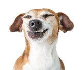 Fototapety Funny dog disgust, denial, disagreement face. Don't like that. grins  teeth pet. White background
