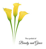 Realistic yellow calla lily. The symbol of Beauty and Grace.