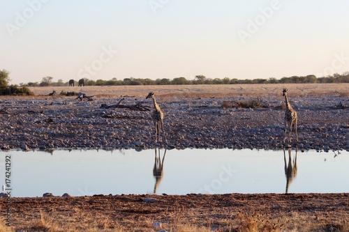 Poster Cappuccino Safari en Namibie