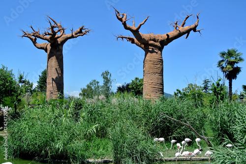 Poster Baobab African baobab