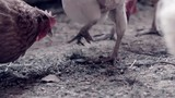 pickende Hühner - 174258033