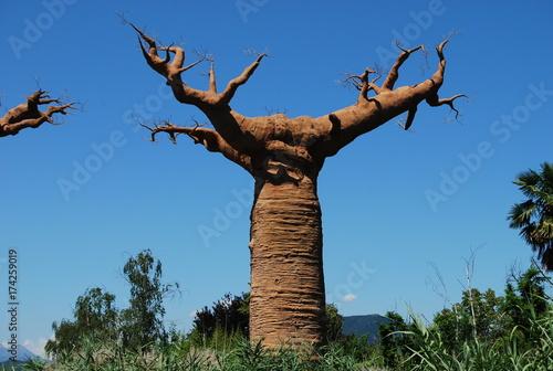 Fotobehang Baobab African baobab