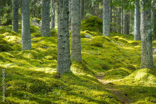 Fototapeta Beautiful green forest with thick moss on the floor