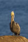 Beach bird pelican standing at beach rocks at La Jolla Cove, San Diego - 174270013